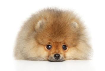 Wall Mural - Pomeranian Spitz puppy lying down
