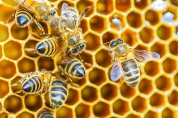 Foto op Canvas Bee Hardworking honey bees on honeycomb in apiary in late summertime