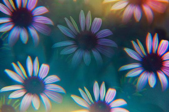 Echinacea photographed through prism filter