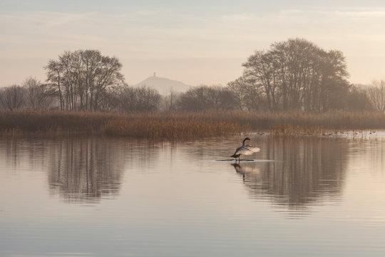 Avalon Swan