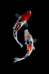 Koi fish showa Black background