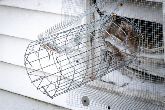 One way exclusion tunnel and wire mesh installed to eliminate rodents in attic; animal hair and bent tongs showing signs of forced entry