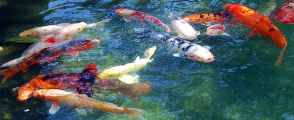 Koi fish are colored varieties of Amur carp (Cyprinus rubrofuscus) that are kept for decorative purposes in outdoor koi ponds or water gardens.
