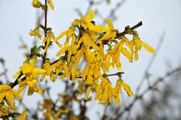 rain drops on forsythia blossoms on april morning