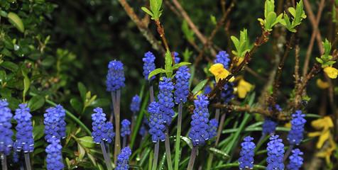 blue grape hyacinths in spring garden after rainy night