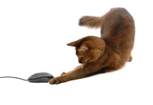 Somali cat with black computer mouse, isolated