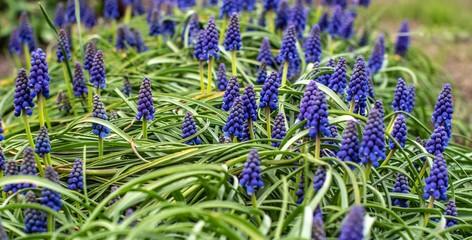 szafirki wiosenne kwiaty na grządce