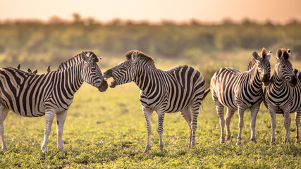 Four Common Zebra grooming on savanna Wall mural