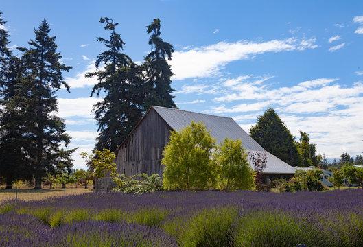 Lavender Fields Sequim Washington