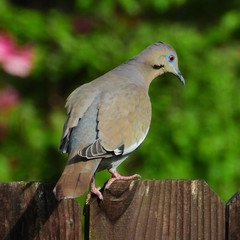 Wall Mural - White-winged Dove