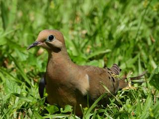 Fototapete - Mourning Dove