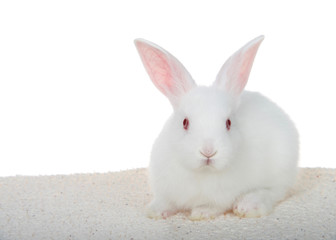 Adorable white albino baby bunny crouched down on sheepskin blanket isolated on white background looking directly at viewer.