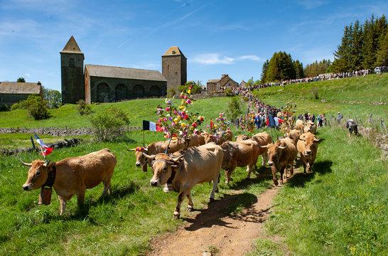 Transhumance des troupeaux sur l'Aubrac