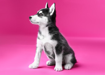 Cute Husky puppy on color background Wall mural