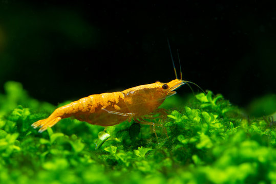 Sunkist orange yellow dwarf shrimp on green grass or aquatic moss