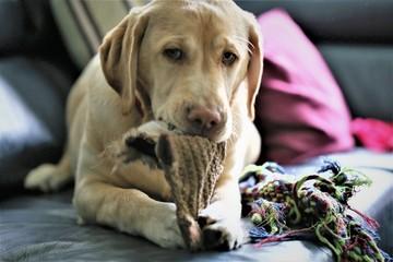 An Image of a labrador