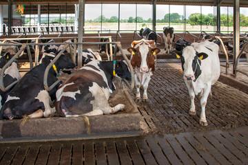 Milchrinder im Stall - Bilder aus der Landwirtschaft AGRARMOTIVE