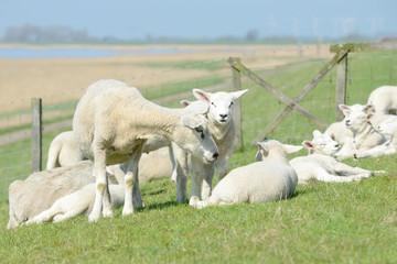 herd of sheep, lambs on meadow