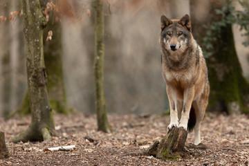 Foto auf Acrylglas Wolf Grey wolf in the forest