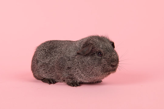 Agouti grey guinea pig seen fromt the side on a pink background