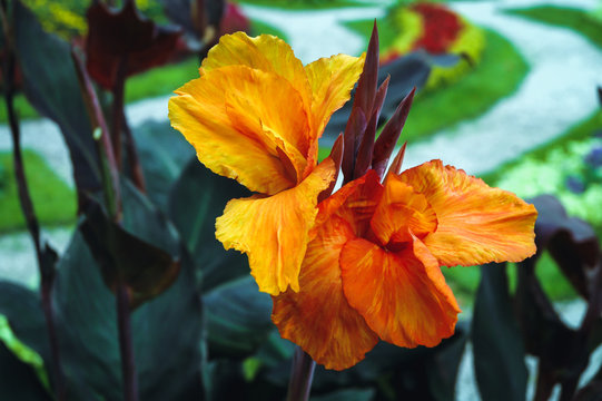 Canna flower also called canna lily in the garden - variety called Canna hortensis