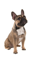 Sitting french bulldog looking away isolated on a white background in a vertical image with mouth closed