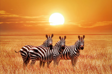 Wall Mural - African zebras at sunset in the Serengeti National Park. Tanzania. Wild nature of Africa.