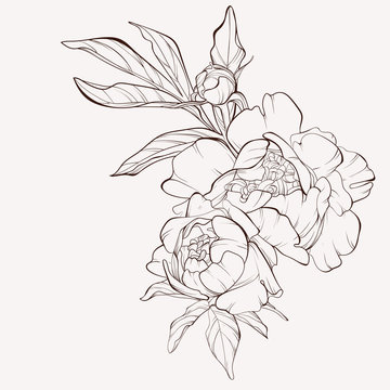 Peony flower and leaves drawing. Vector hand drawn engraved floral card. Botanical rose, branch and berry Black ink sketch. Great for tattoo, invitations, greeting cards, decor .