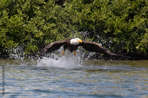 One Bald Eagle springs from the Gulf Intracoastal Waterway