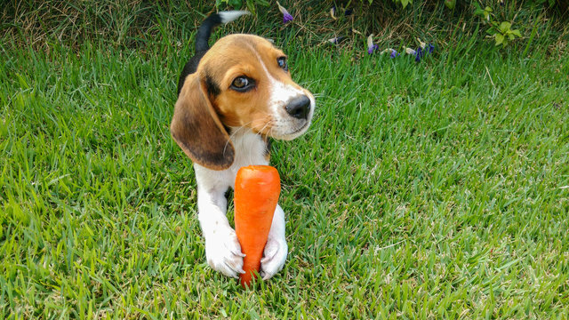 puppy beagle love carrot
