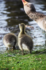 goslings at waters edge with mother