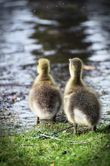 greylag goose goslings on grass