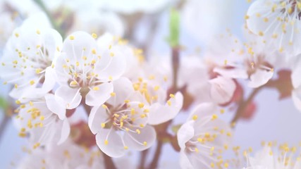 Fotoväggar - Spring flowers opening. Beautiful Spring Apricot tree blossom timelapse, extreme close up. Time lapse of Easter fresh pink blossoming apricot closeup. Blooming backdrop 4K UHD video