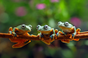 Foto auf AluDibond Frosch flying frog family, tree frog, java tree frog
