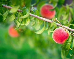 Wall Mural - Peach fruit tree close-up
