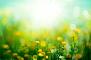 Wall Mural - Yellow spring flowers on sunny green meadow background