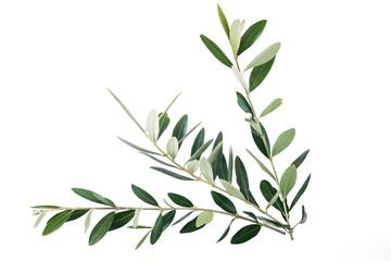 Photo sur Plexiglas Oliviers rami di ulivo per festa delle Palme