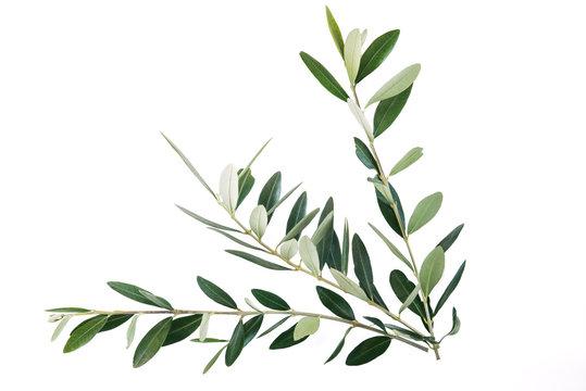 rami di ulivo per festa delle Palme