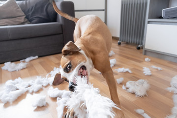 Funny playful dog destroying a fluffy pillow at home. Staffordshire terrier tearing apart a piece of homeware and enjoying the process Fotoväggar