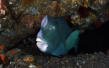 Underwater world - Green humphead parrotfish - Bolbometopon muricatum. Liberty wreck. Tulamben, Bali, Indonesia.