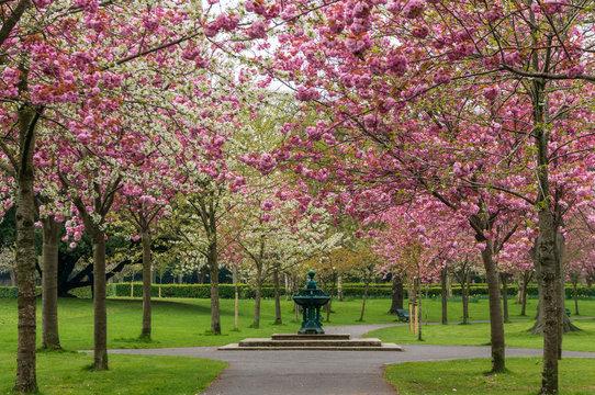 Spring alley through lovely pink cherry trees blooming in Herbert Park, Dublin, Ireland.
