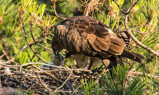 Furious wild eagle sitting near little bird and feeding in nest between coniferous twigs