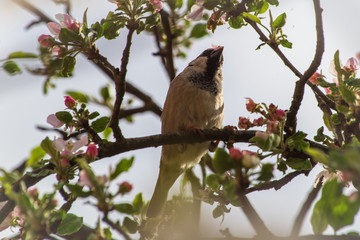 House sparrow bird or Passer domesticus on a branch of fruit tree with blossoms in spring