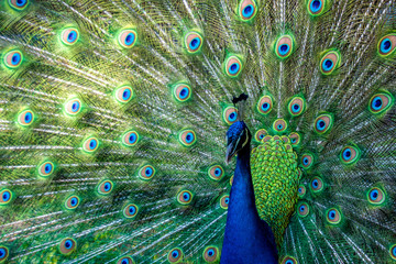 Fotorolgordijn Pauw A peacock displaying their feathers