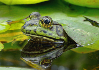 Image of n American Bullfrog taken in Southern California.