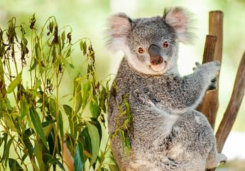 Photo Stands Koala Australian Koala