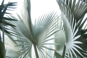 Obraz Green leaf of palm tree isolated on white background . - fototapety do salonu