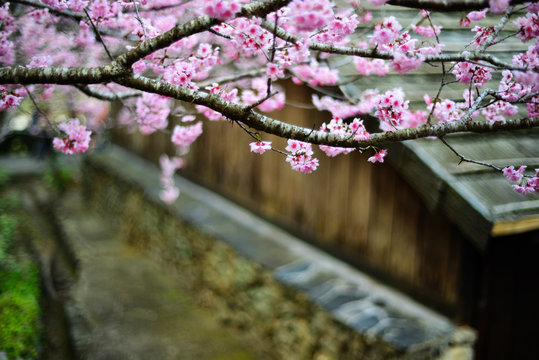 Cherry blossoms in spring,Taiwan