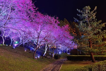 Cherry blossoms at night