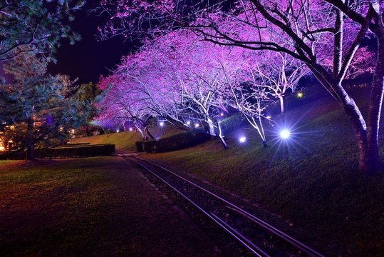 Railway in cherry blossom trees at night